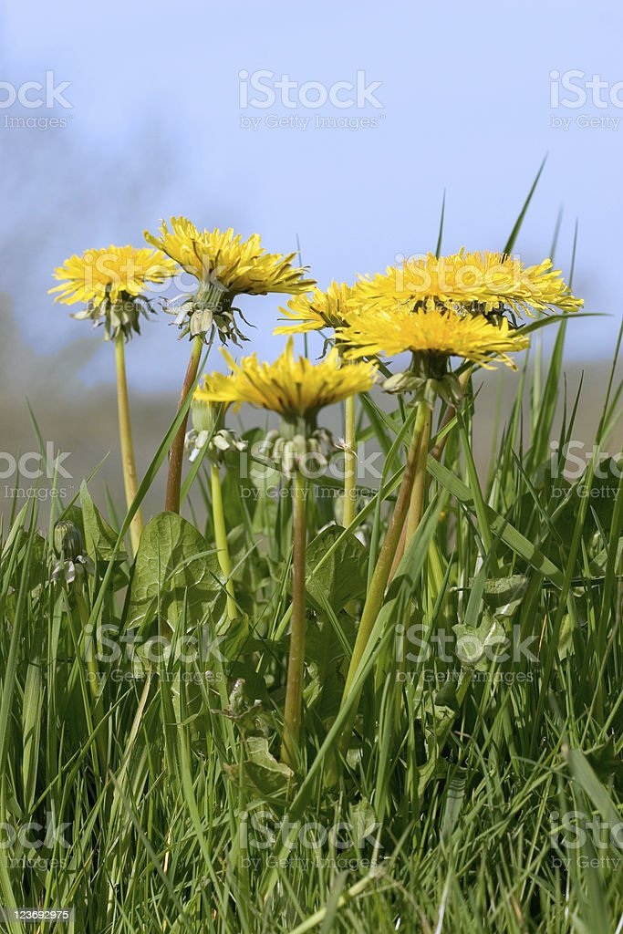Bunch Of Dandelions royalty-free stock photo