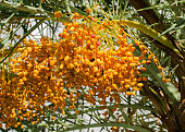 Bunch of Date Palm