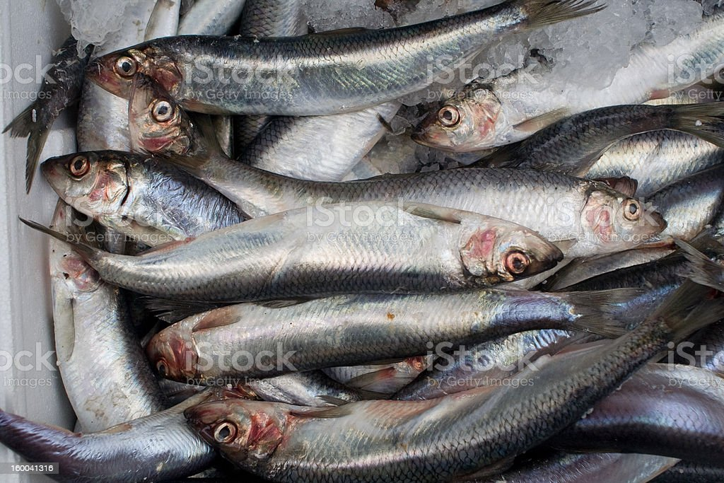 bunch of dead fishes sardines stock photo