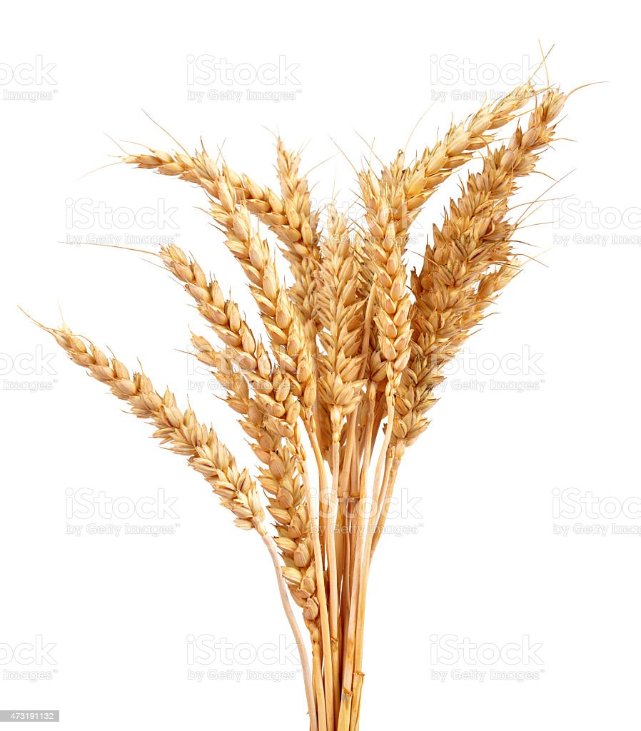 A bunch of dried wheat stalks against a white background  stock photo