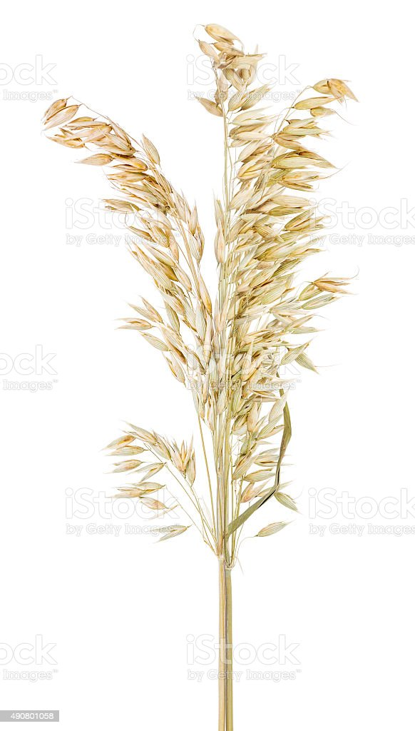 bunch of dry oat isolated on white stock photo