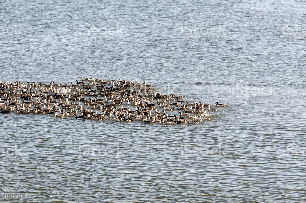 Bunch of ducks on lake royalty-free stock photo