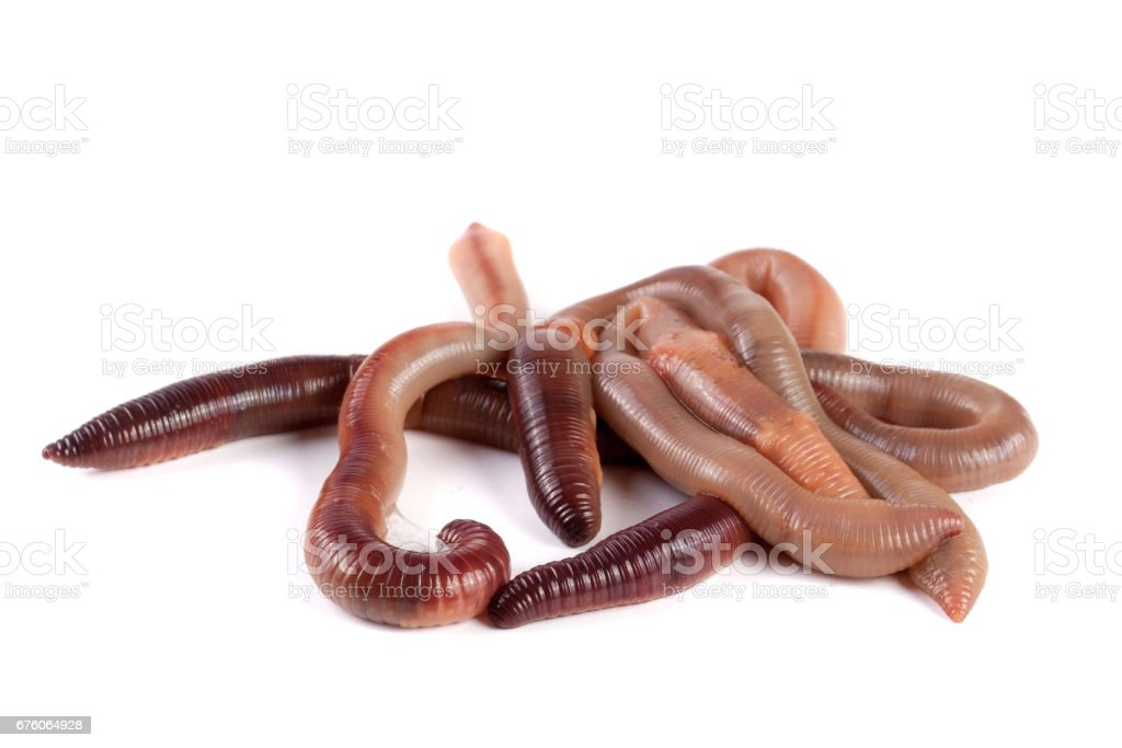 bunch of earthworms isolated on white background macro stock photo