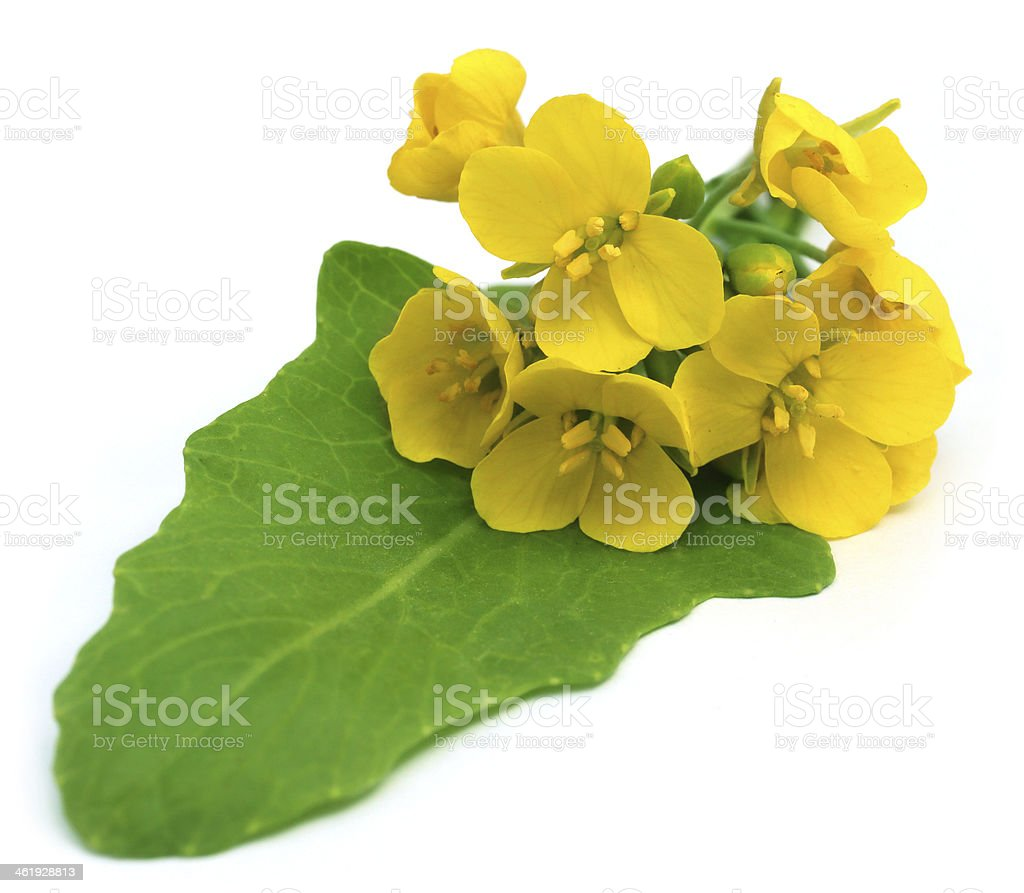 Bunch of edible mustard flowers stock photo