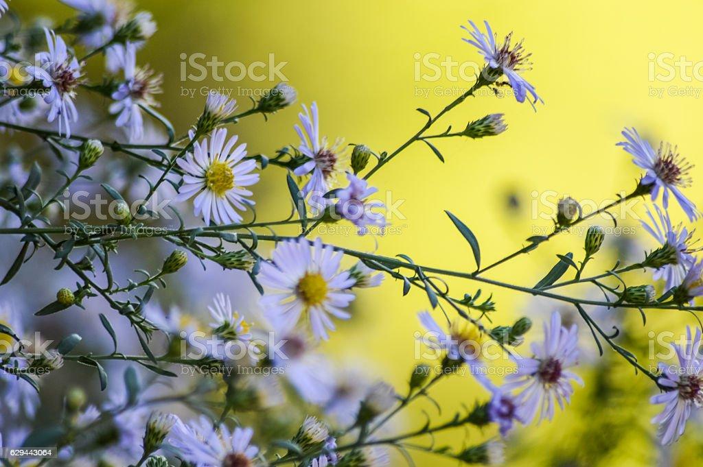 bunch of European Michaelmas Daisy flowers stock photo
