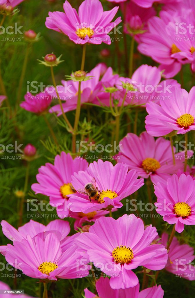 Bunch of flowering Garden Cosmos ,pink blush stock photo