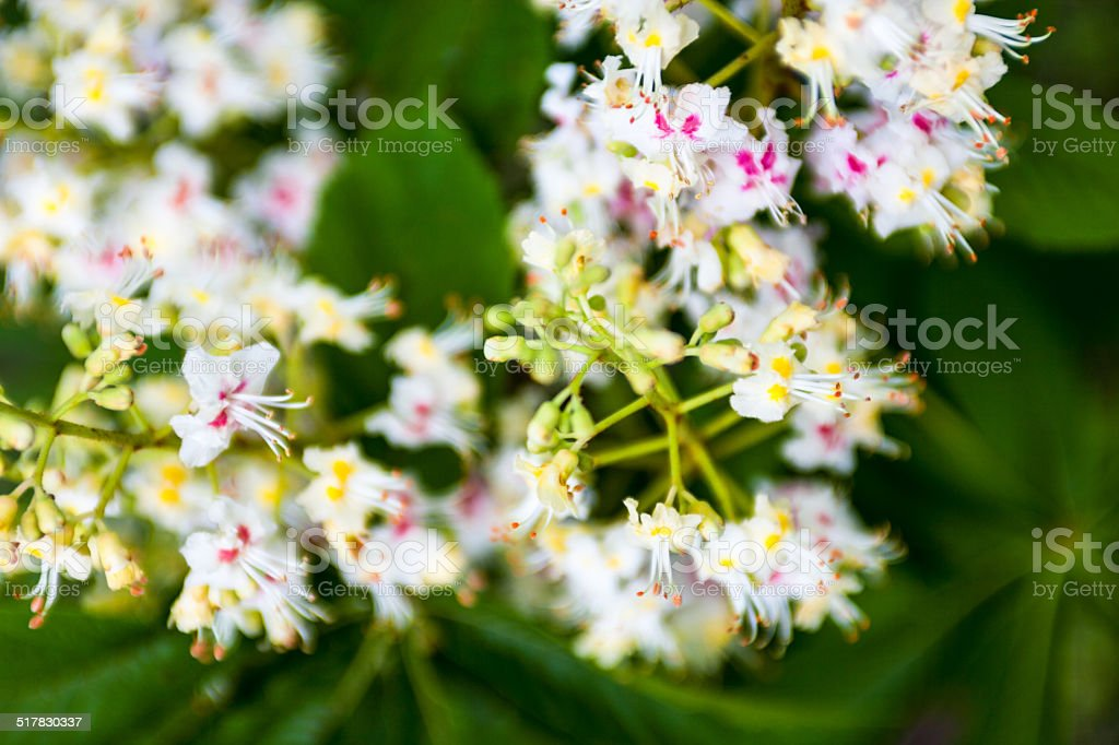 Bunch of flowers of the horse-chestnut tree stock photo