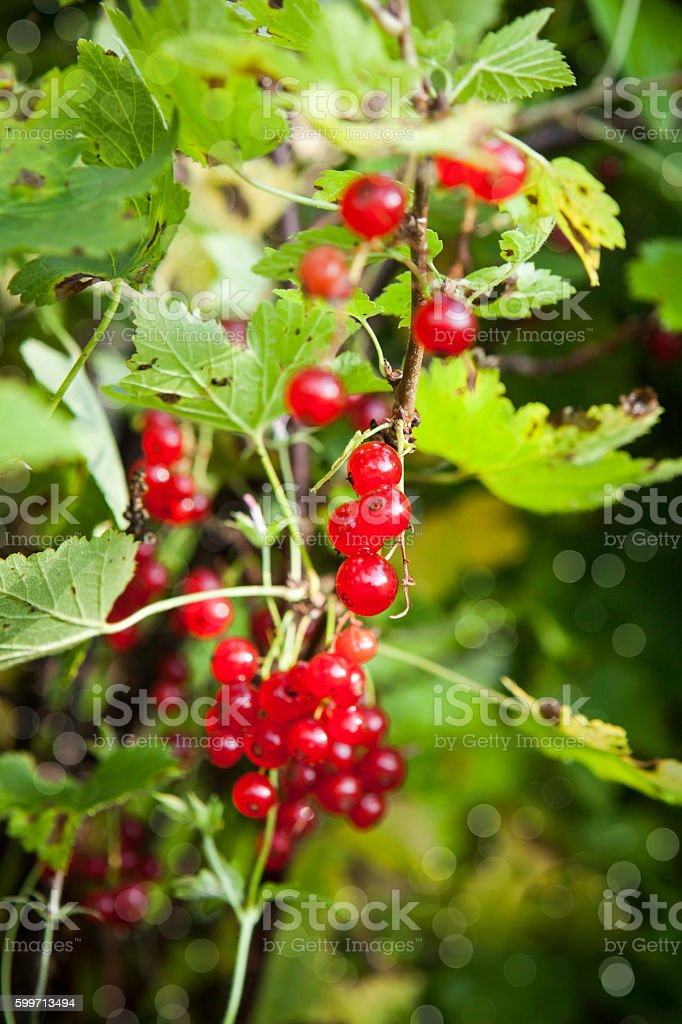 Bunch of fresh ripe red currant berry stock photo