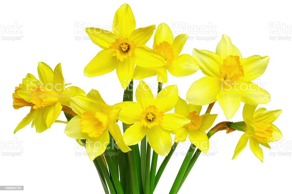 A bunch of freshly picked yellow daffodils royalty-free stock photo