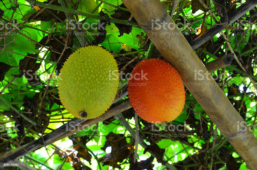 Bunch of Gac fruit hanging on the tree stock photo