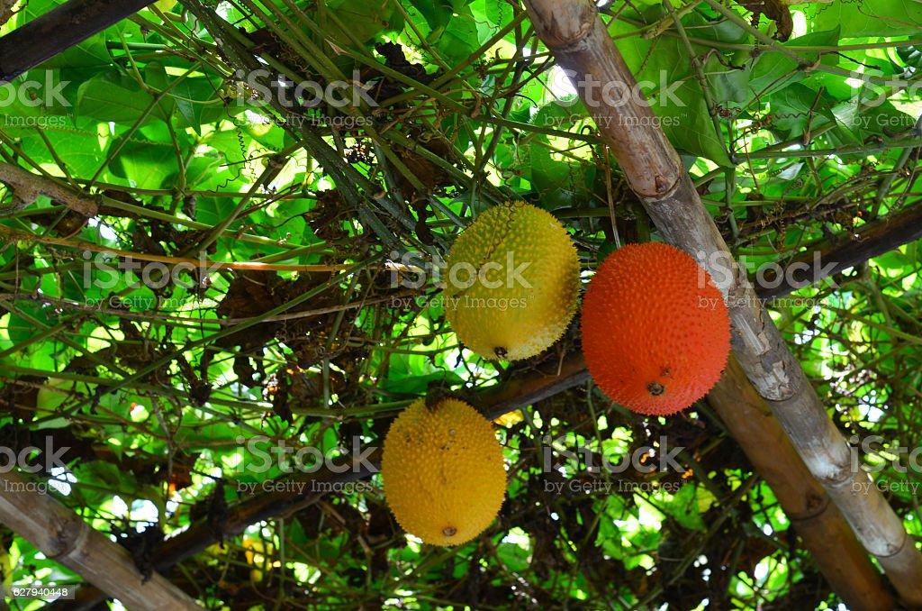 Bunch of Gac fruit hanging on the tree stock photo