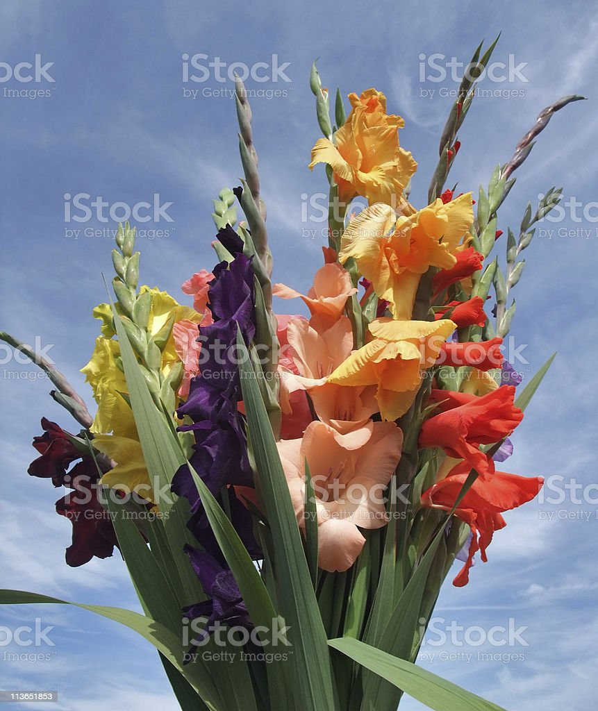 bunch of gladioli flowers royalty-free stock photo