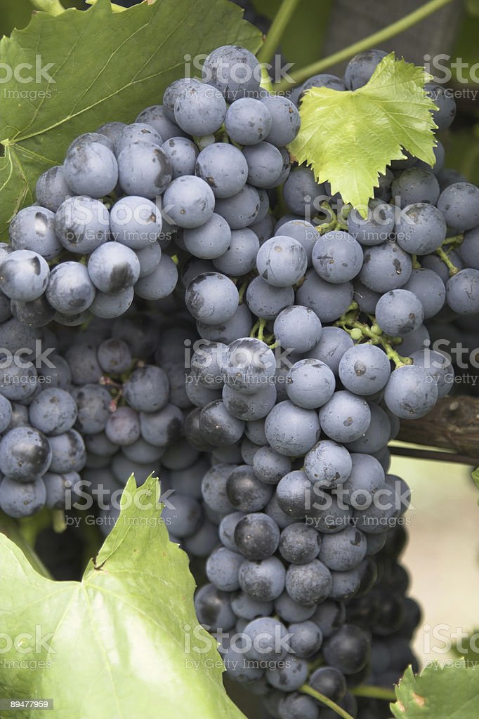 Bunch of grapes 5. royalty-free stock photo