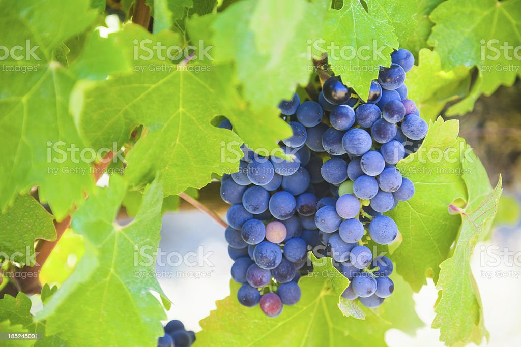 Bunch of Grapes at Vine royalty-free stock photo
