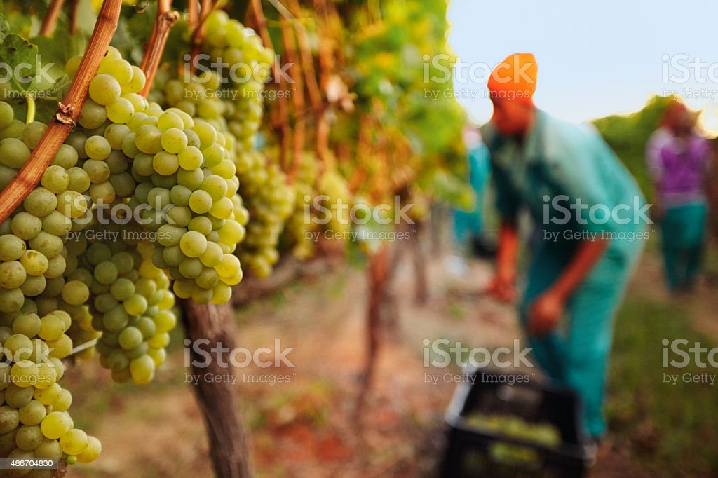 Bunch of grapes at vineyard stock photo