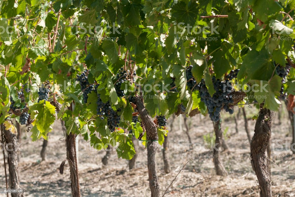 bunch of grapes in a vineyard in Italy stock photo