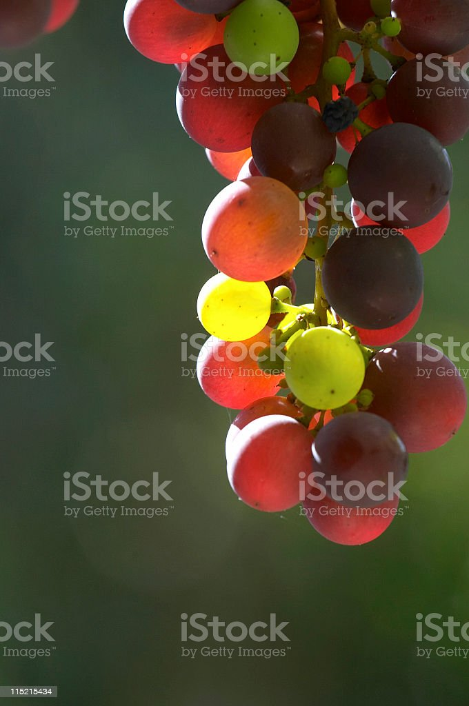 Bunch of grapes in backlight II royalty-free stock photo