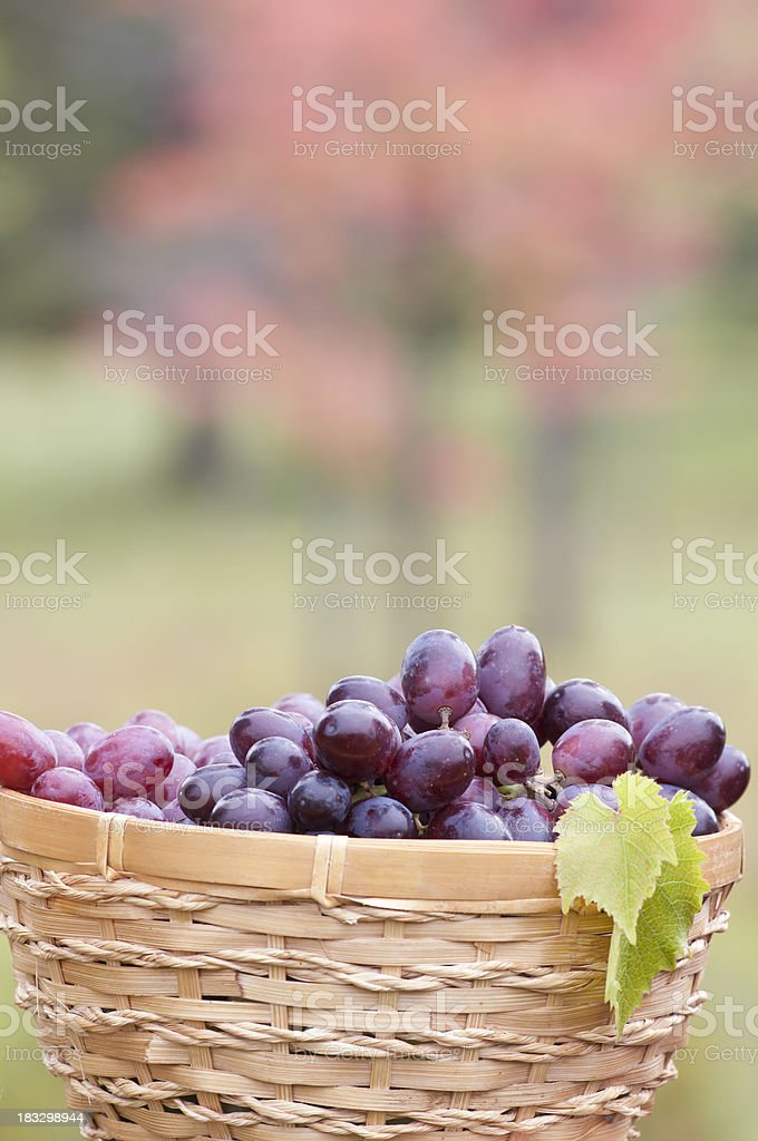 Bunch of grapes in the basket with lush foliage background royalty-free stock photo