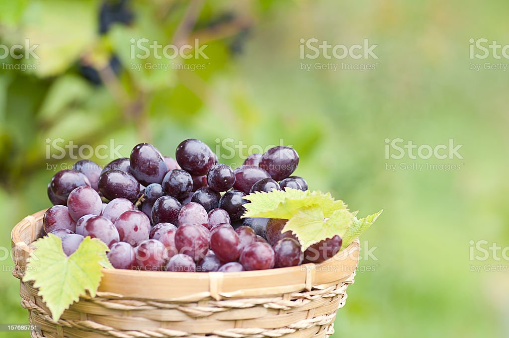 Bunch of grapes in the basket with vine background (III) royalty-free stock photo