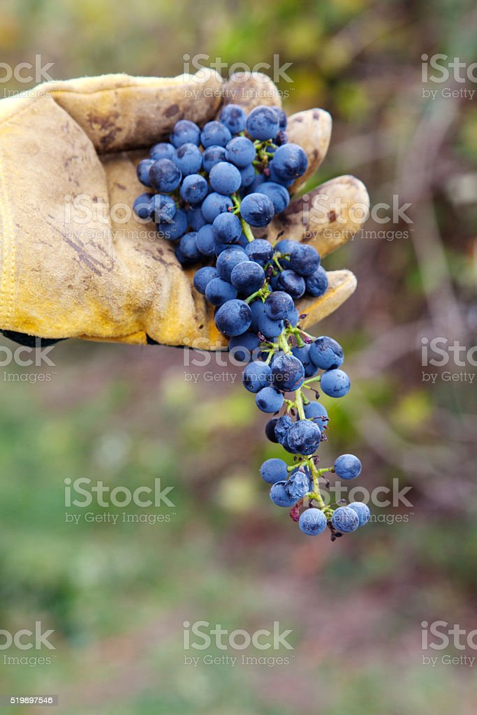 Bunch of grapes just harvested stock photo