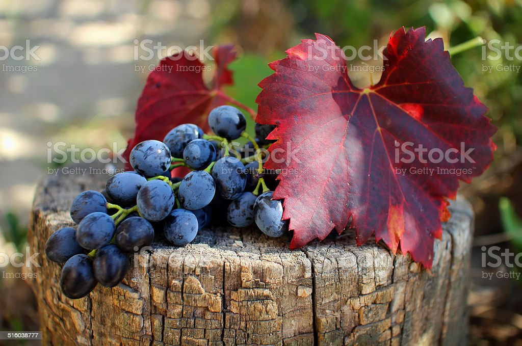 Bunch of grapes with leaves lying on the stump. stock photo