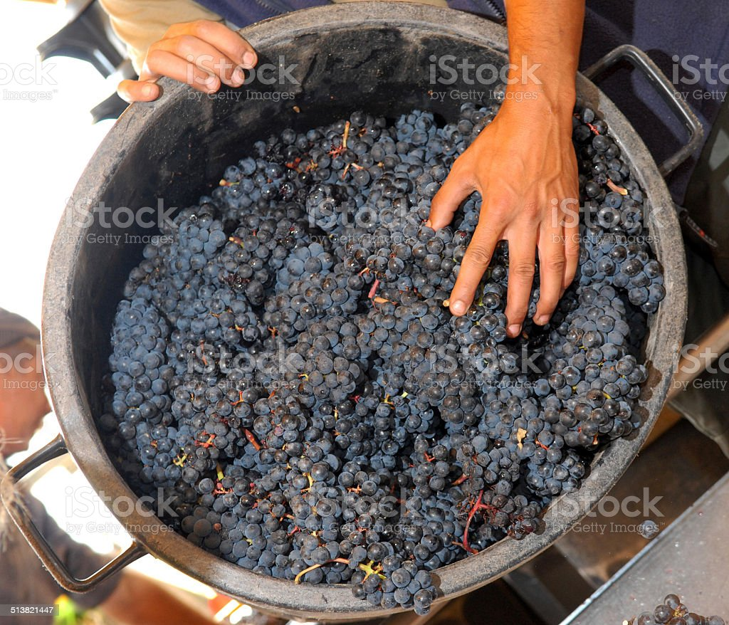 Bunch of grapes-Harvest in the vineyards of Bordeaux, France-Cabernet Sauvignon stock photo