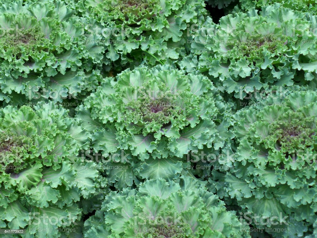 Bunch of Green and Purple Color Ornamental Cabbage stock photo