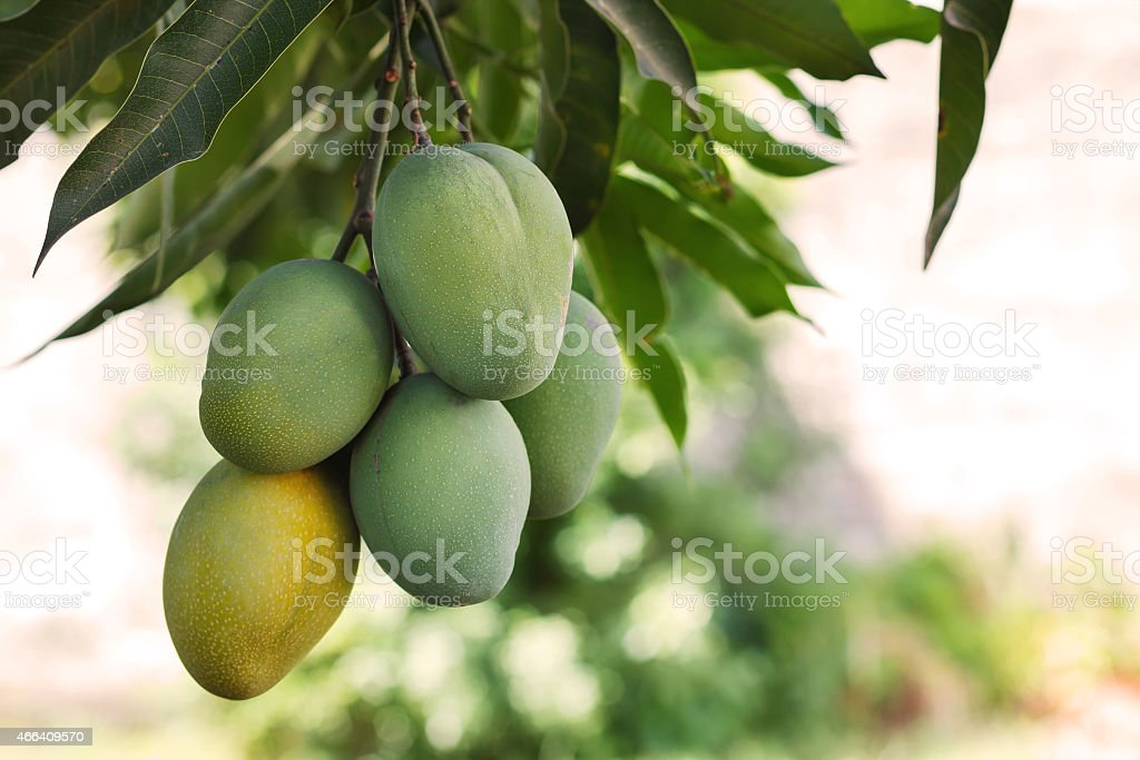 Bunch of green and ripe mango on tree in garden stock photo