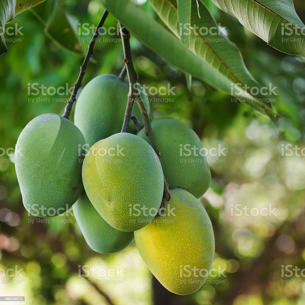 Bunch of green and yellow ripe mango on tree stock photo