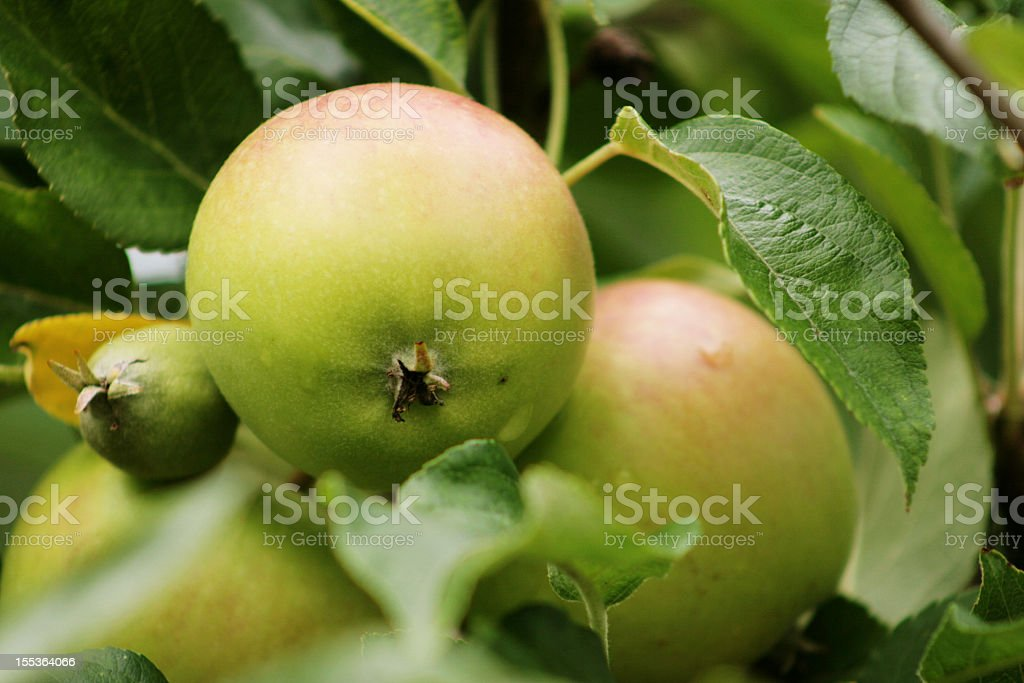 Gruppo di mele verdi foto stock royalty-free