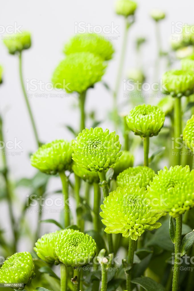 bunch of green chrysanthemum with white background stock photo