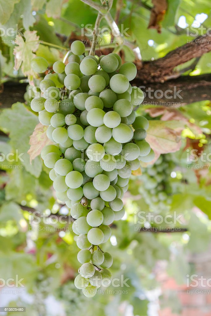 bunch of green grapes hanging on the vine stock photo