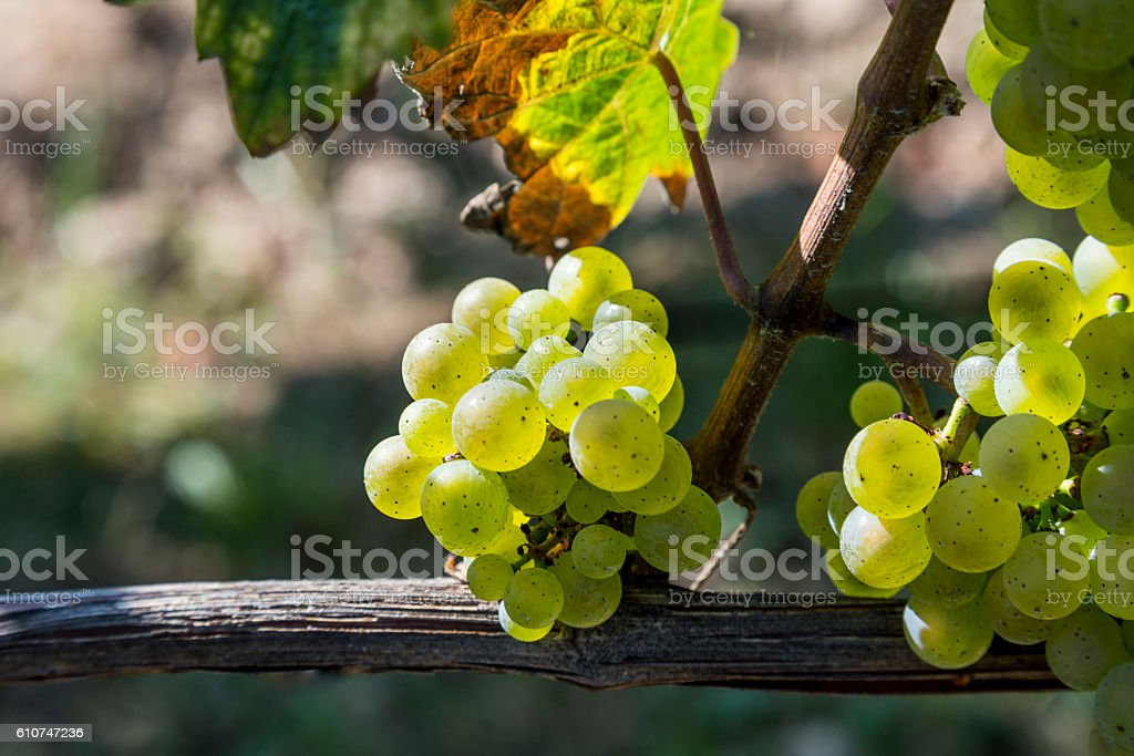 bunch of green grapes on grapevine right before harvest stock photo