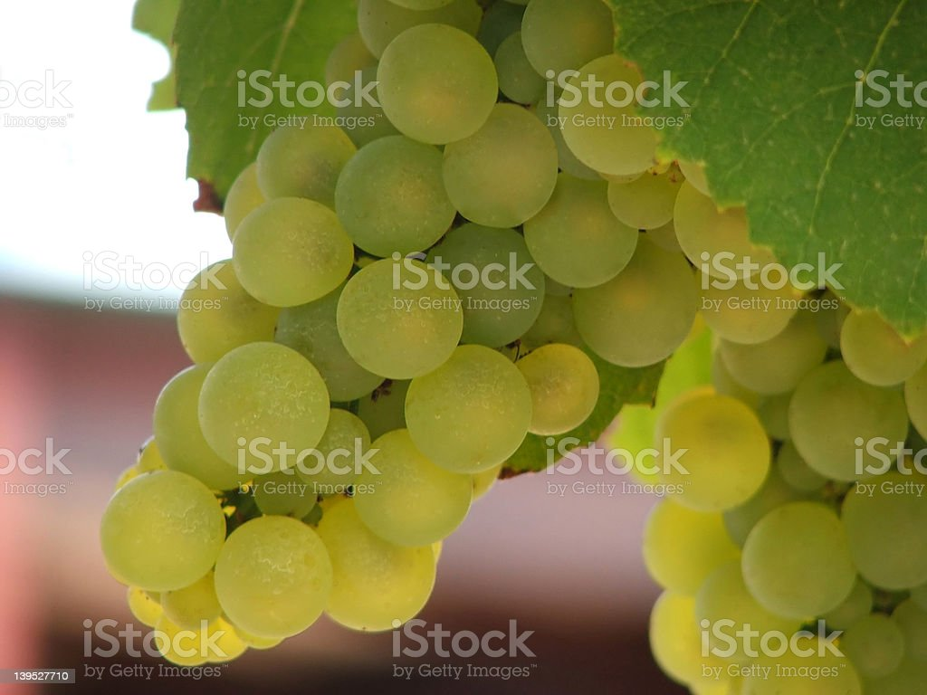 Bunch of green grapes on vine royalty-free stock photo