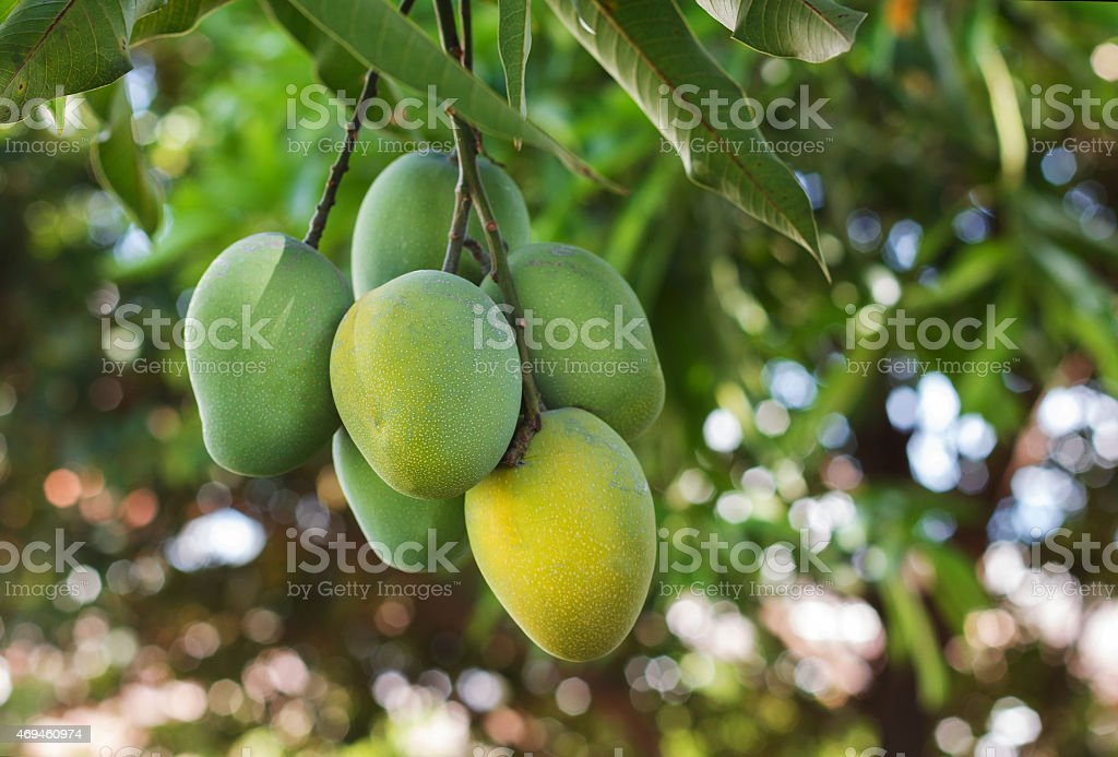 Bunch of green ripe mango on tree in garden stock photo