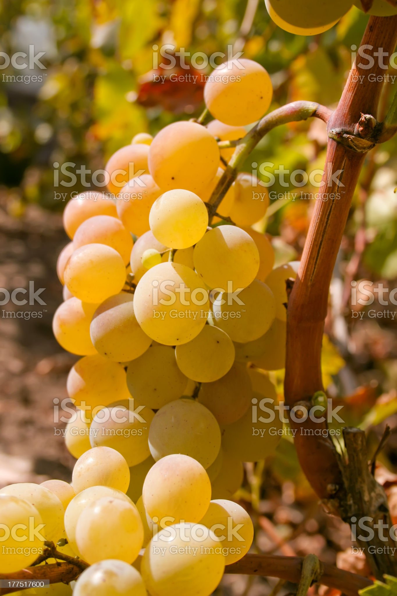 Bunch of green ripe wine grapes on the vine royalty-free stock photo