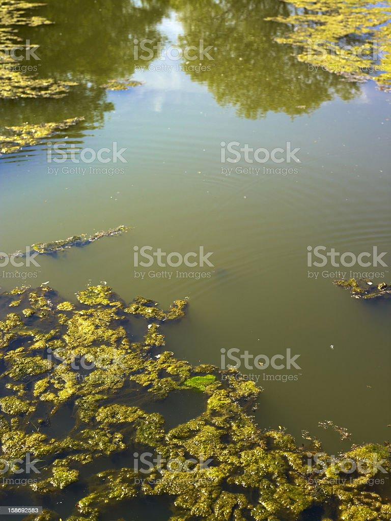 Bunch of green River algae stock photo