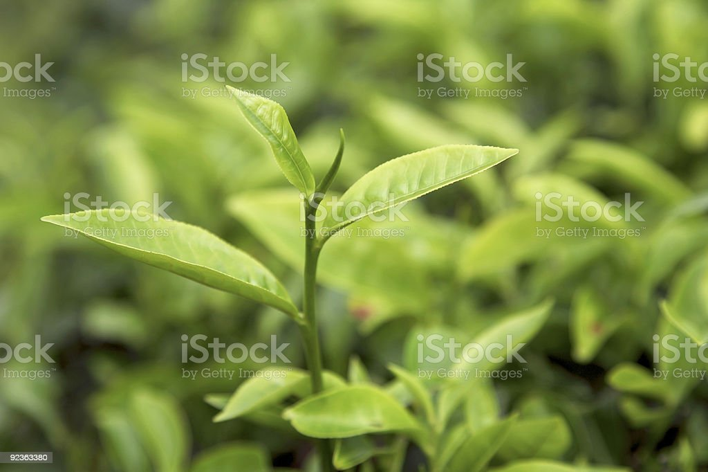 Bunch of green tea leaves growing on a vine stock photo