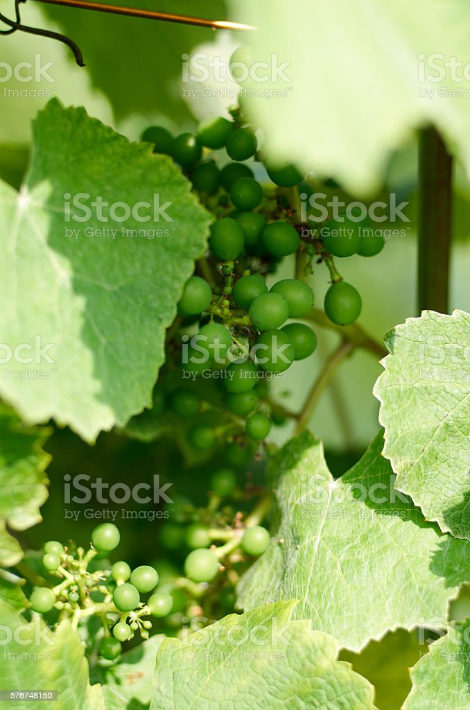 Bunch of green unripe grapes stock photo