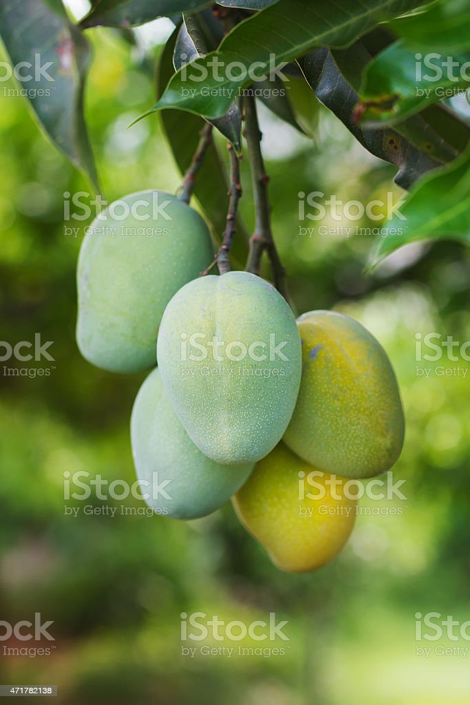 Bunch of green, yellow ripe mango on tree in garden stock photo
