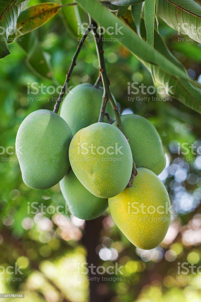 Bunch of green, yellow ripe mango on tree in garden stock photo
