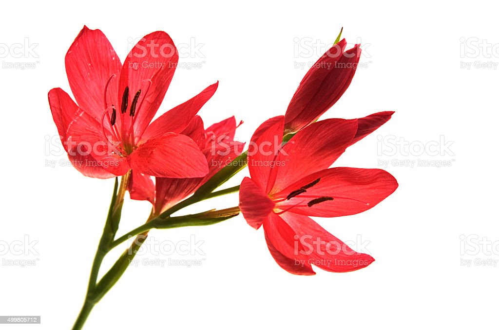 Bunch of kaffir lilies isolated on white stock photo