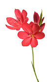 Bunch of kaffir lilies isolated on white