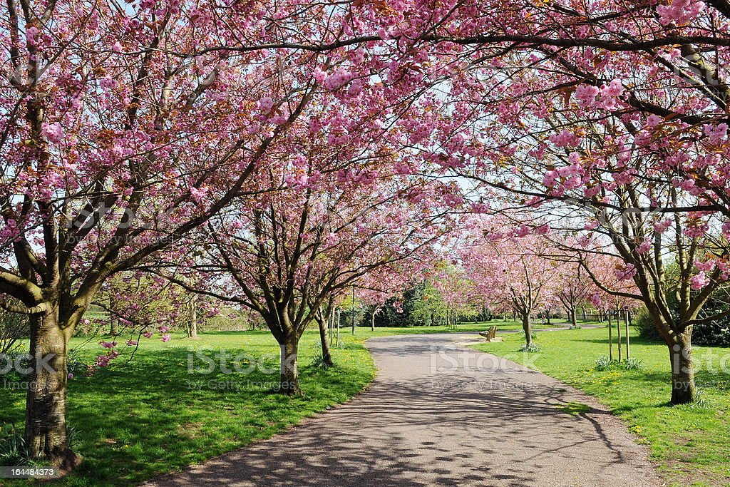 A bunch of large cherry blossom trees in a park stock photo
