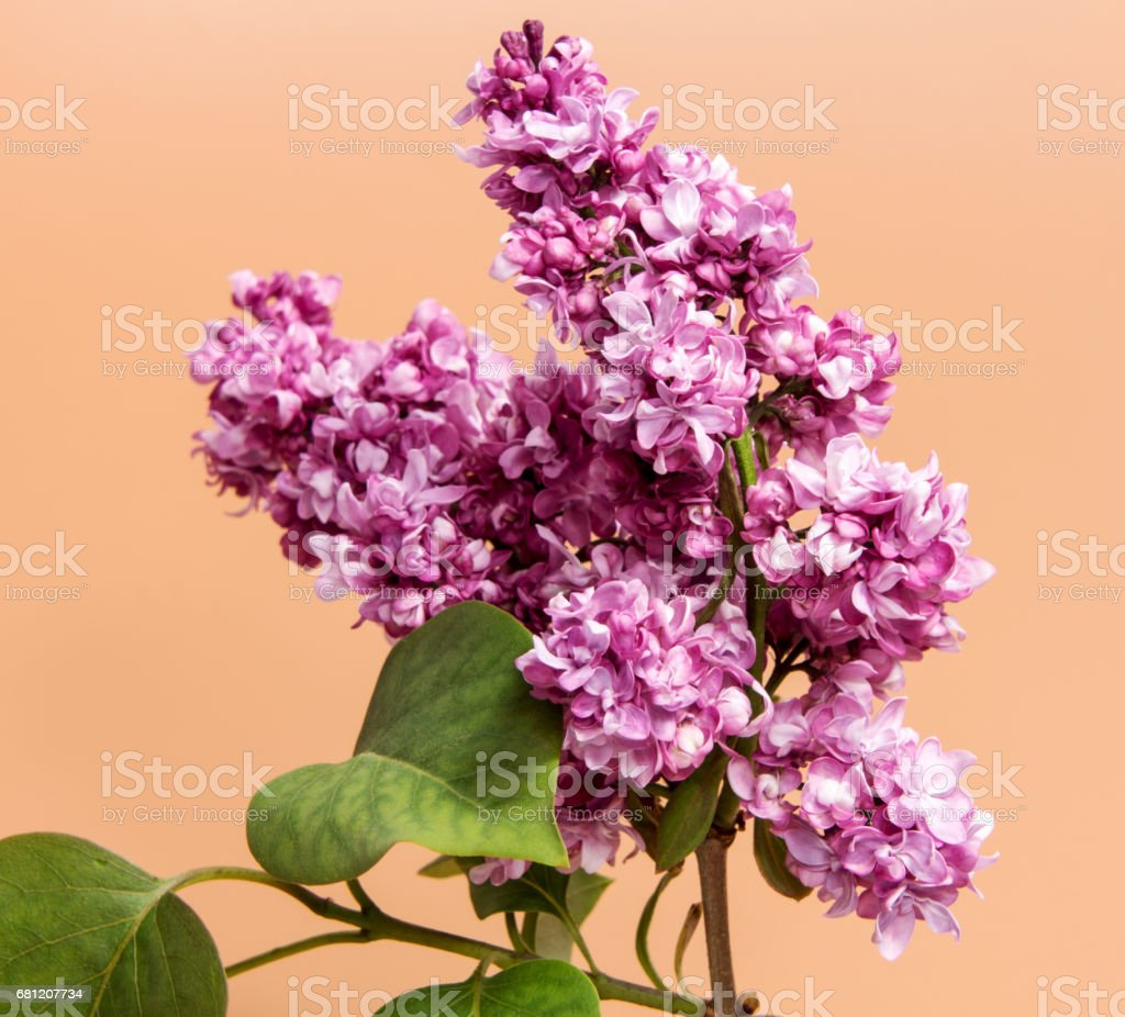 Bunch of lilac flowers isolated on brown background stock photo