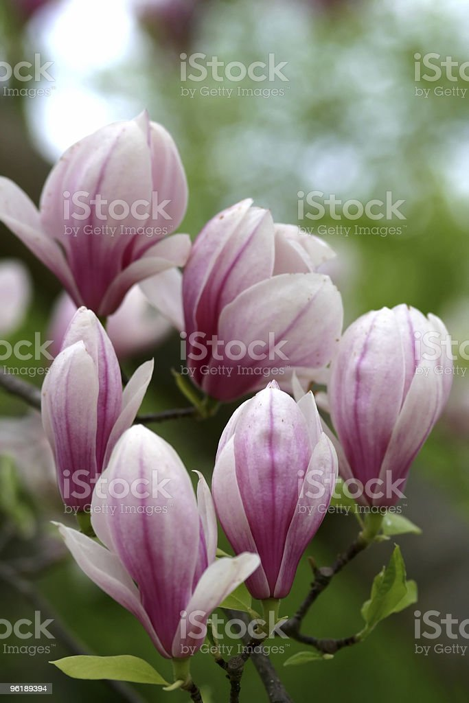 Bunch of magnolia buds royalty-free stock photo