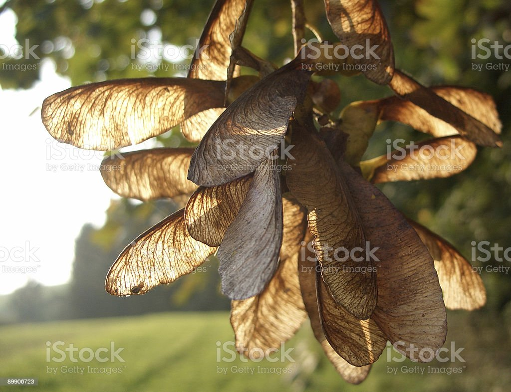 bunch of maple seeds stock photo