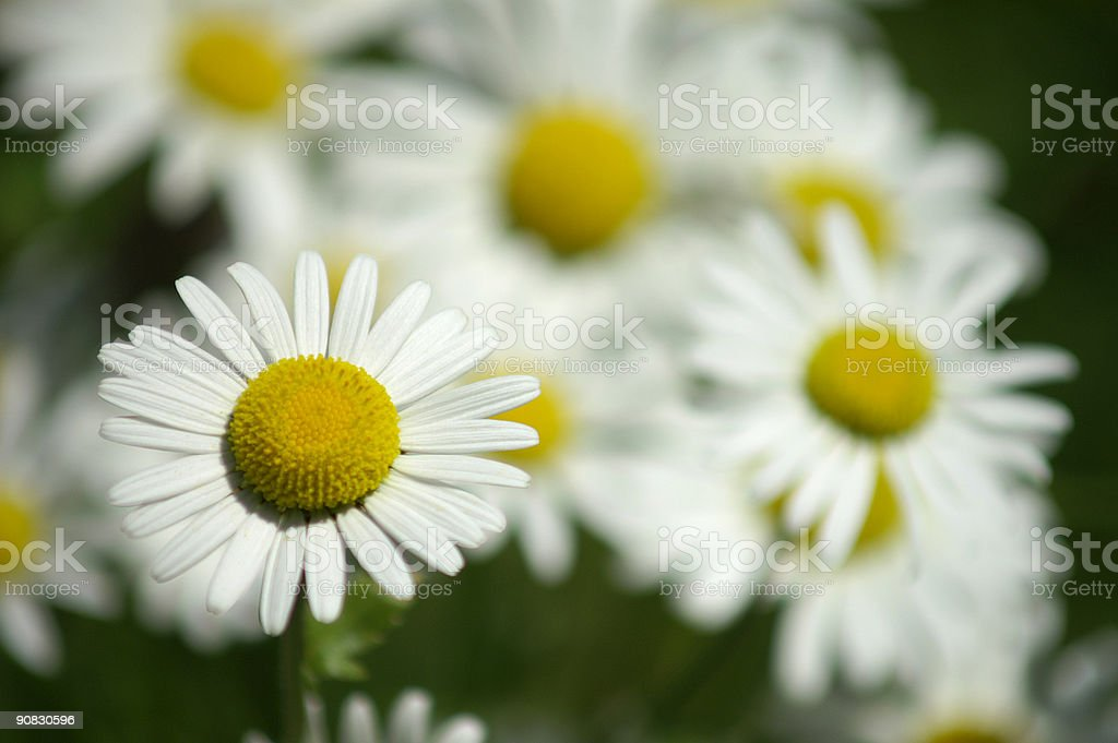 Bunch of marguerites royalty-free stock photo