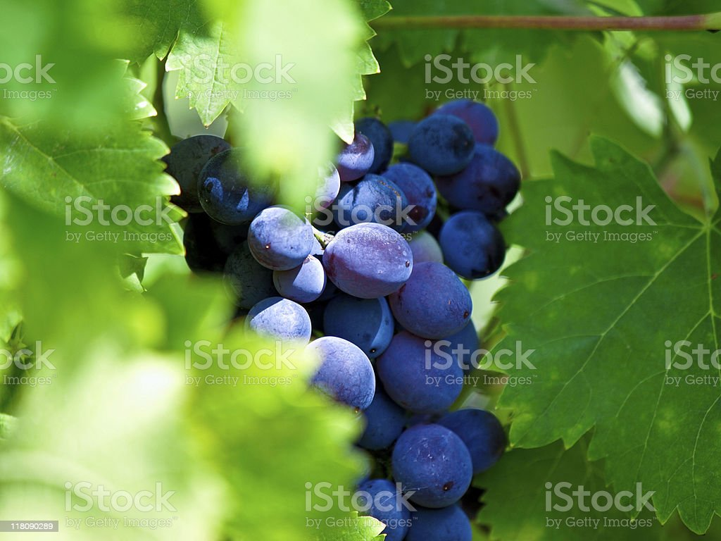 Bunch of Muscat grapes on the vine stock photo