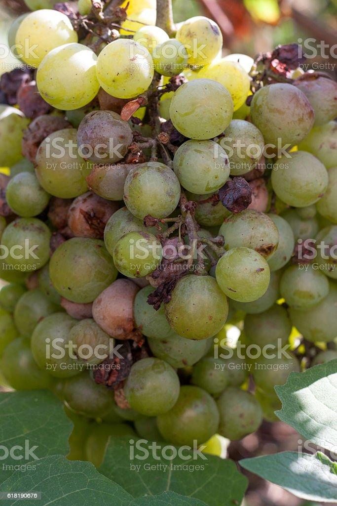 bunch of overripe rotting white grape closeup stock photo
